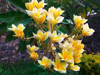 Frangipani, Plumeria, Kamboja, or Jepun In The Garden