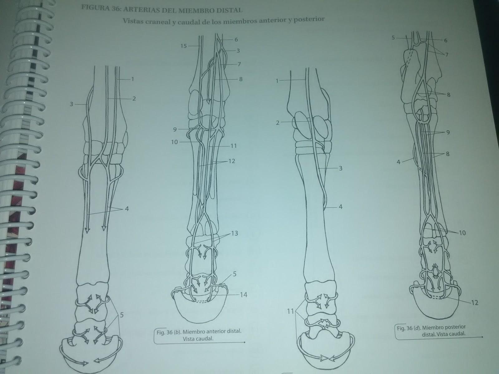 Magnífico Caballo Miembro Inferior Anatomía Friso - Anatomía de Las ...