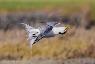 """Early morning aerobics"" Swift tern after a dive"