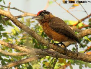 Pica-pau-anão-canela Picumnus fulvescens Stager, 1961