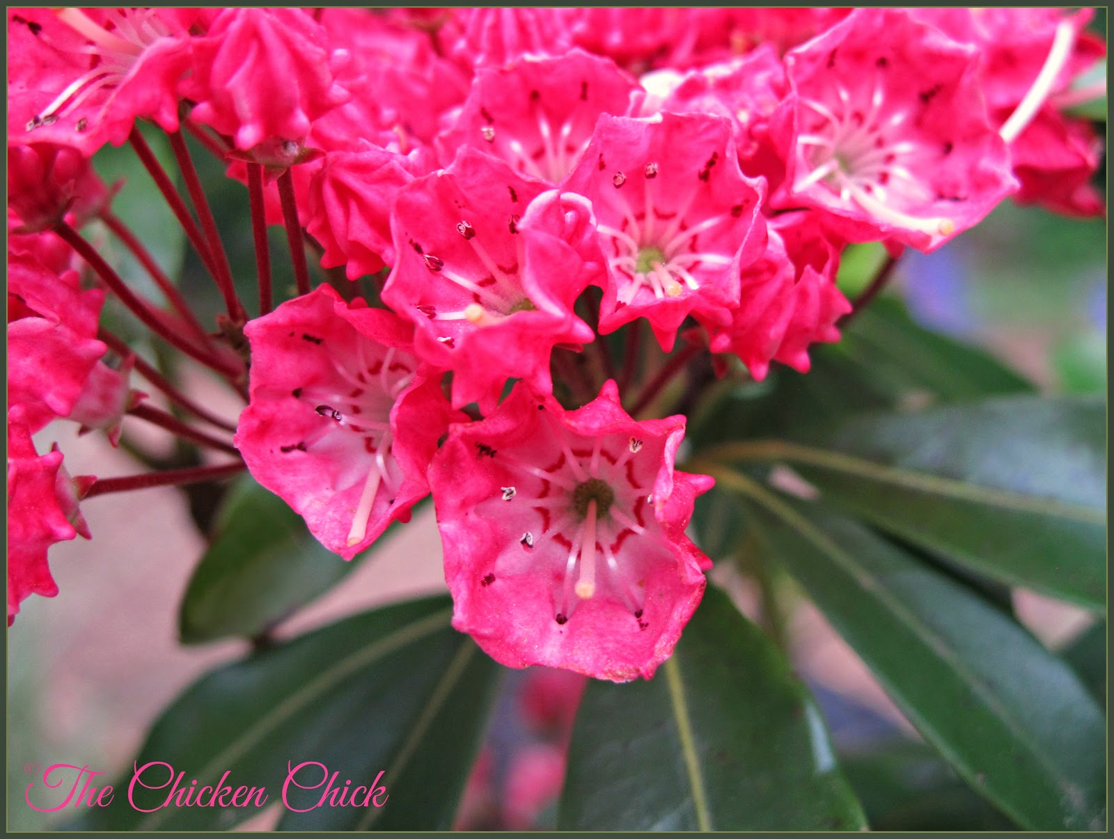 Mountain Laurel shrub.