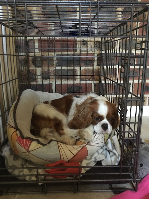 Ava brown and white puppy curled up on a soft bed in crate