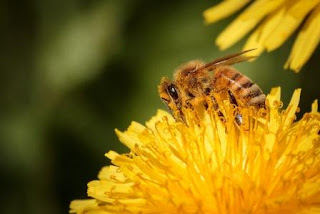 honeybee on dandelion flower