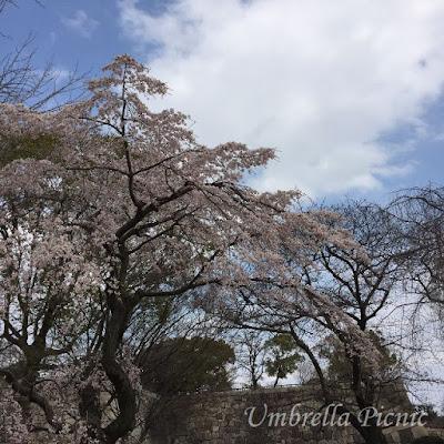 大阪城桜20160329_写真