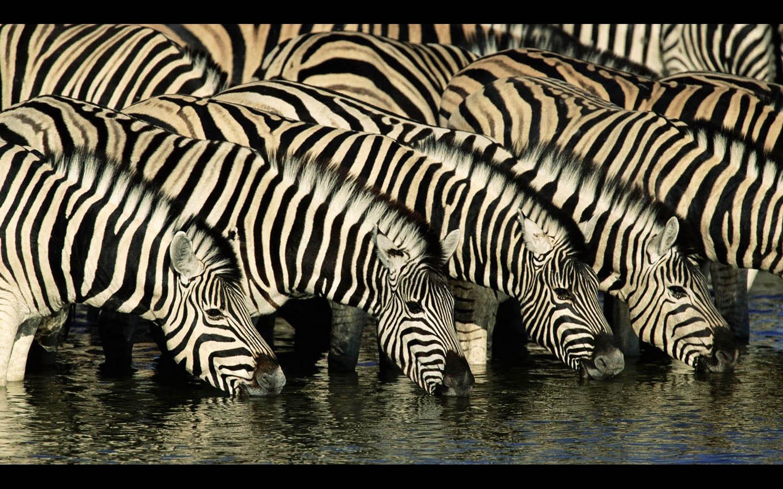 3d Tiger Wallpapers For Desktop Wallpapers Zebra Wallpapers