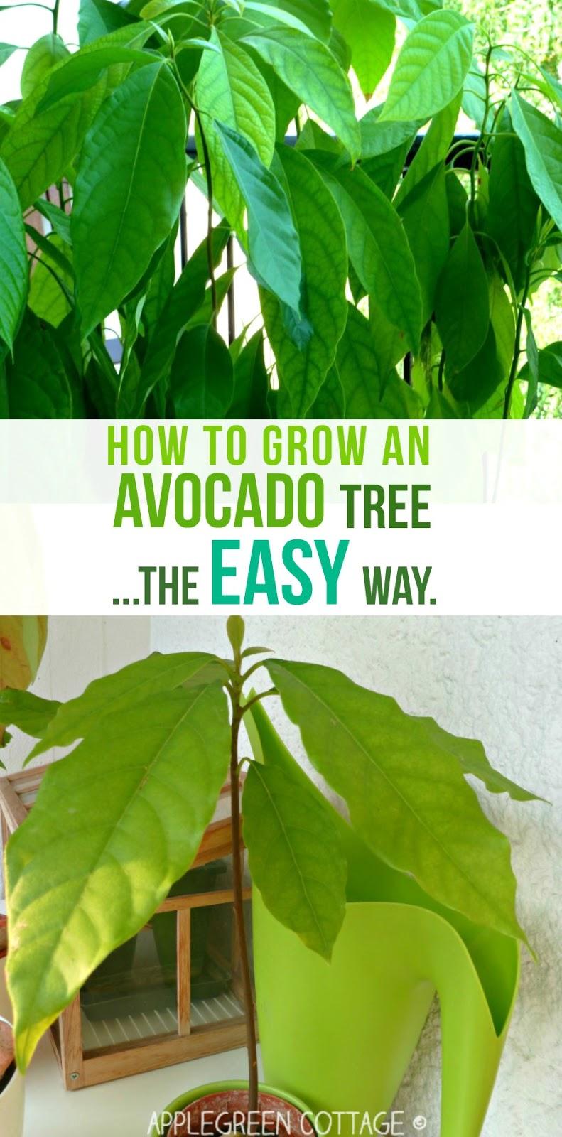 how to grow an avocado tree video