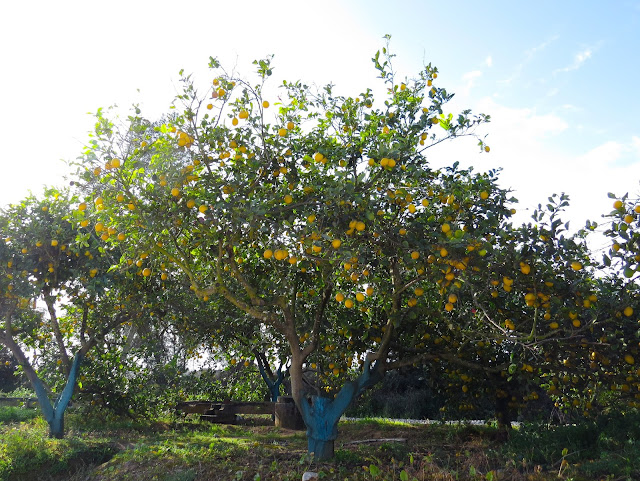 Lemon Tree - Portugal
