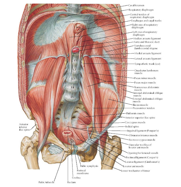 Posterior Abdominal Wall: Internal View Anatomy