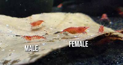 difference between male and female red cherry shrimp