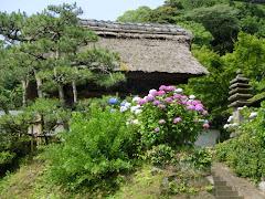 長寿寺のアジサイ