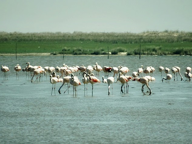 Flamingos na Barra da Lagoa do Peixe