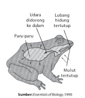 Di paru-paru katak, terjadi inspirasi dan ekspirasi.