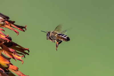 Bee in Flight  Canon 7D Mark II / EF 400 f/5.6L USM Lens @ ISO 800