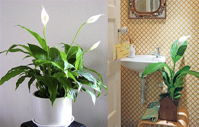 lirio-da-paz-no-banheiro-abrirjanela