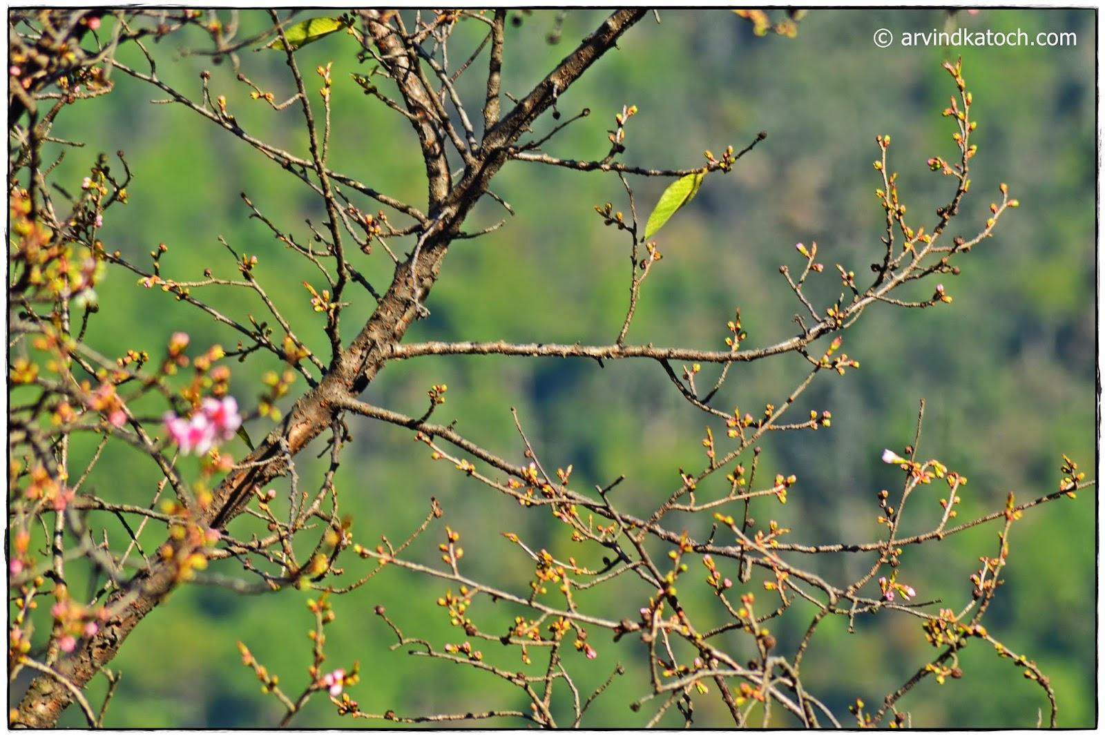 Tree Branch, Blossom, buds