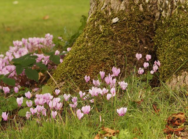 Cyclamen round a tree