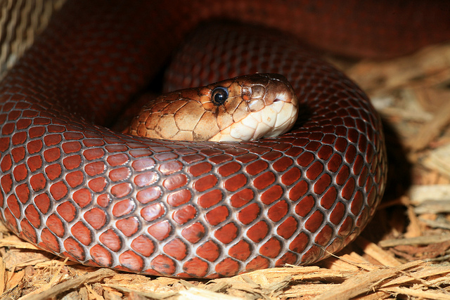 Snakes Eating Cows Snakes: Red Spitting C...