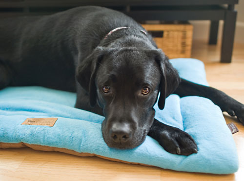 Separation Anxiety In Dogs A Rising Concern Australian