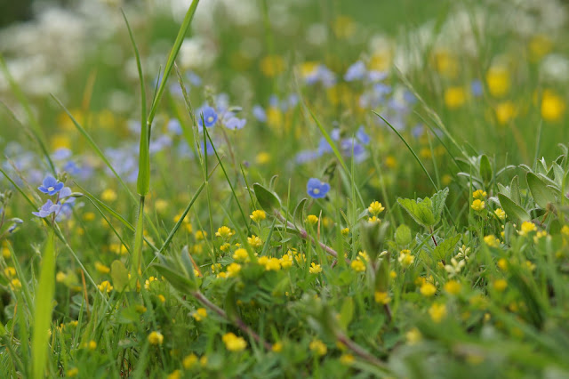 wild flowers in May in the Norfolk countryside
