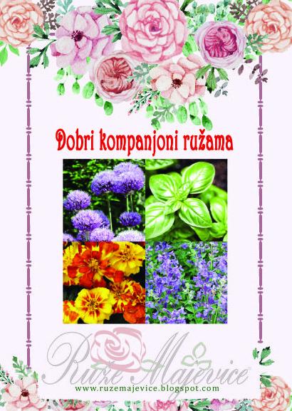 Biljke kompanjoni ruza