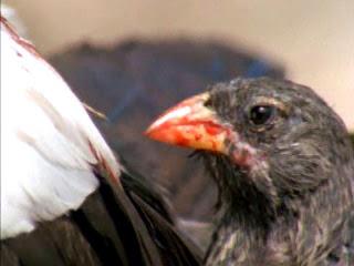 Tentilhão vampiro (Geospiza difficilis septentrionalis), uma subespécie do tentilhão Geospiza difficilis.  Essa subespécie se parece com os outros passarinhos da espécie, mas é o único inclui em sua dieta, já bastante variada, o sangue de outras aves.