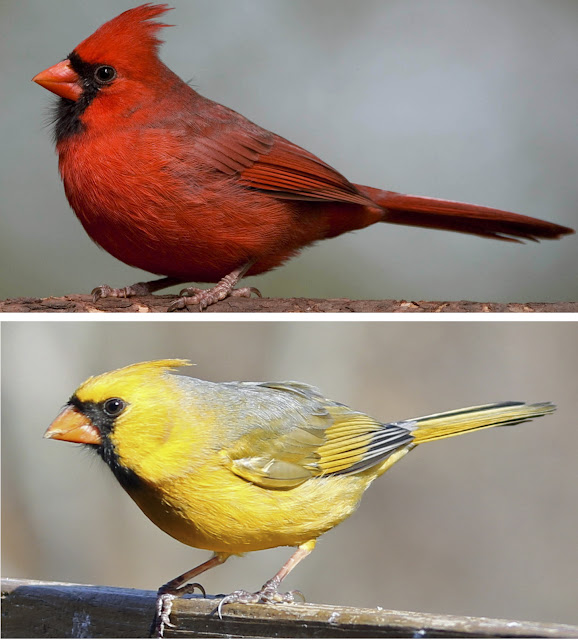 How birds turn red