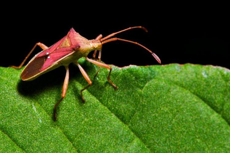 Öpücük Böceği olarak isimlendirilen bu canlı, adını ağız çevresindeki bölgeleri ısırmasından almıştır.