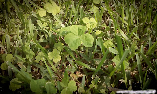 One large three leaf clover  growing with several smaller clovers int he grass.