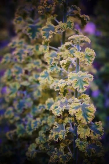 hojas rizadas y perfumadas de pelargonium (geranio)