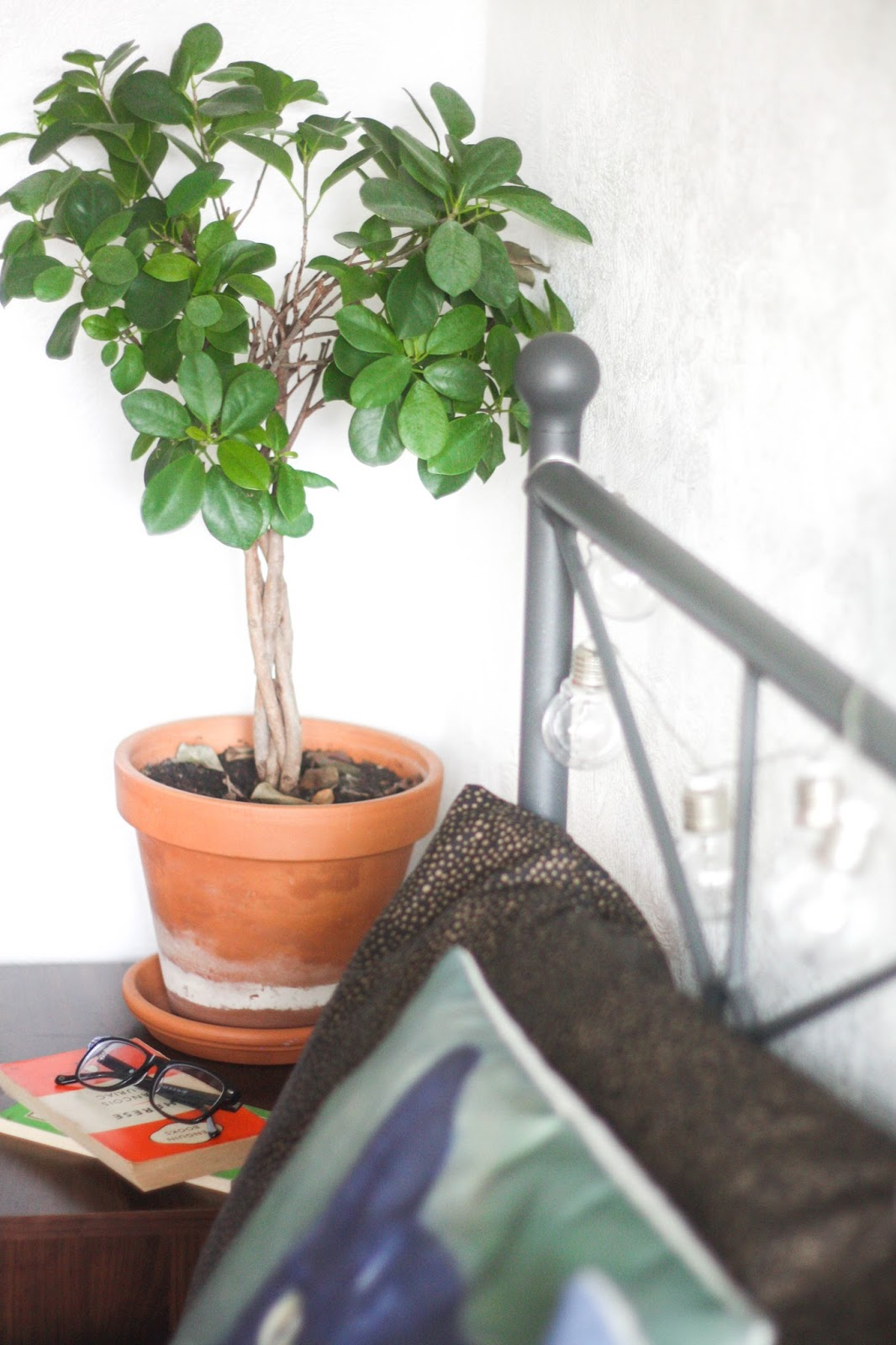 Ficus plants - which one to pick?