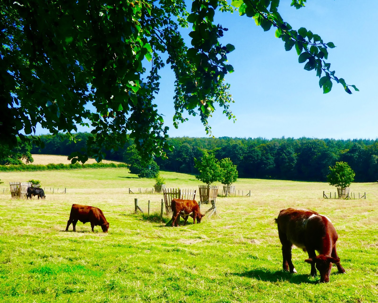 Gibside - A North East National Trust Property that's ideal for Picnics, Adventure Playground fun and beautiful gardens - a field of cows