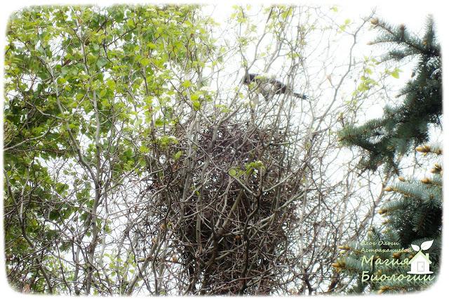 магия-биологии-сорока-гнездо