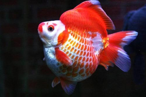 Cá vàng Ryukyu