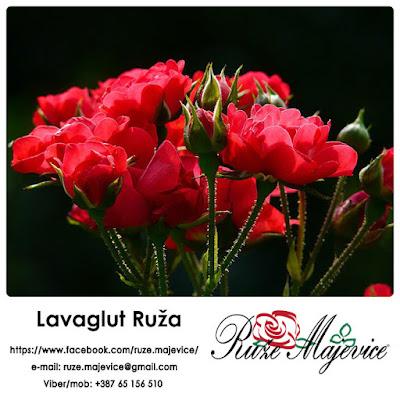 Lavaglut Ruža -  Idealna za Vaš kutak, za uživanje i odmor