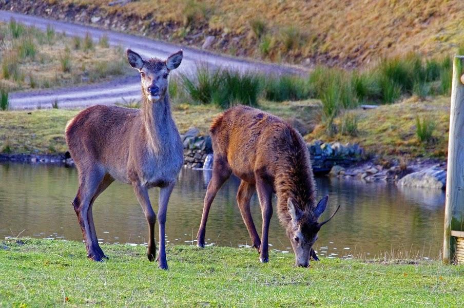 Deer in Scottish Highlands