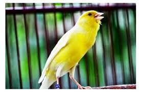 Kenari yaitu salah satu jenis burung import Cara berternak kenari atau menangkar burung kenari