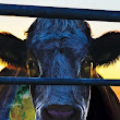 Documentales: Cowspiracy