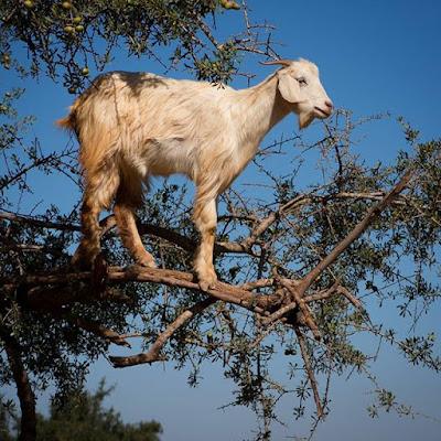 Cabra sobre un Argán en Essaouira