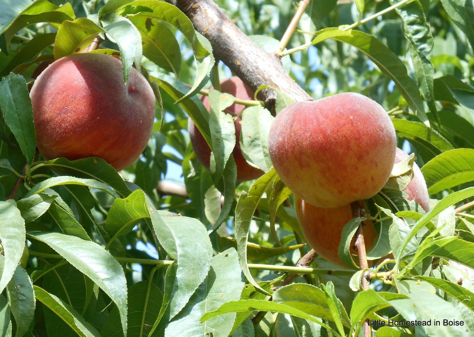 Little homestead in boise organic peach harvest time for Peach tree designs