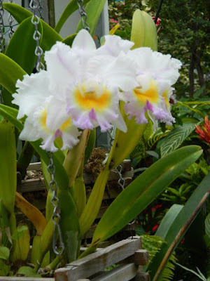Allan Gardens Conservatory 2017 Christmas Flower Show Cattleya labiata by garden muses-not another Toronto gardening blog