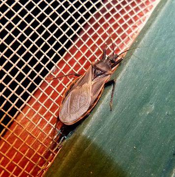 7. Vampire Bugs