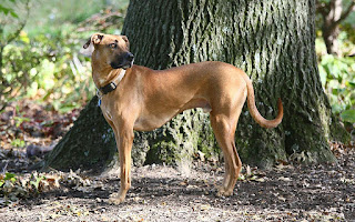 Black Mouth Cur-pets-dogs-dog breeds