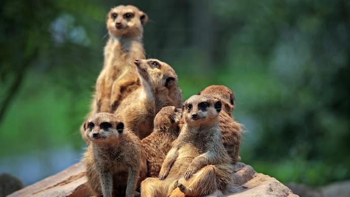Wallpaper: Meerkat Family at the Zoo