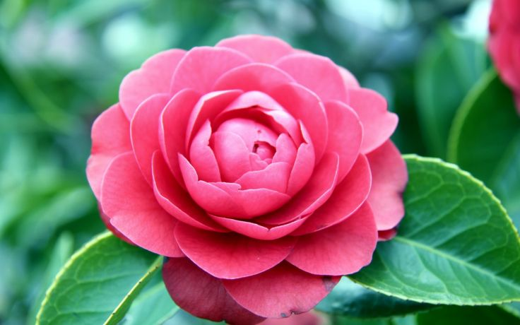 Camellia Flower Wallpaper