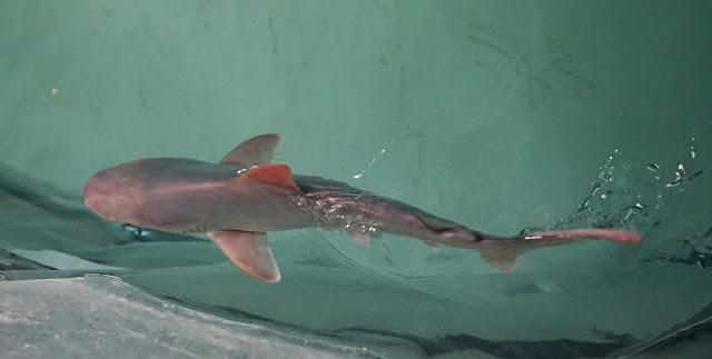 Cría de tiburón gris