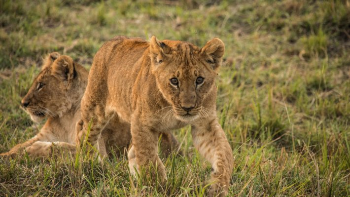 Wallpaper: The Lion Cubs of Serengeti