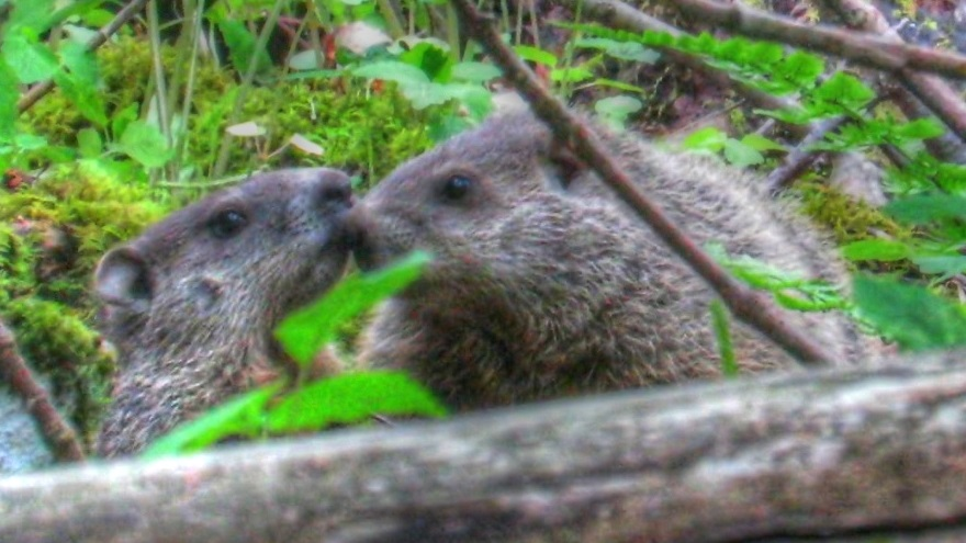 Backyard Birding....and Nature: Groundhog Couple's True ...