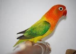 lovebird isian, lovebird kenari, lovebird cililin
