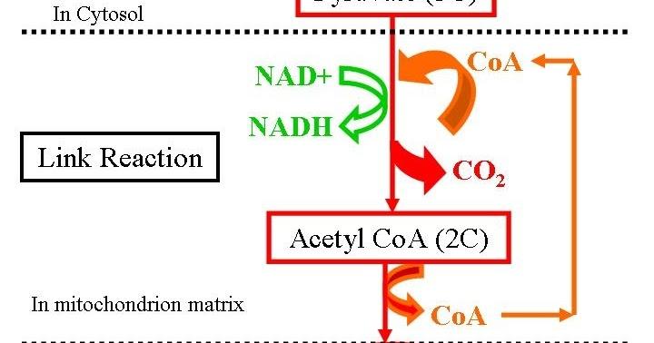 Peran ATP dalam metabolisme
