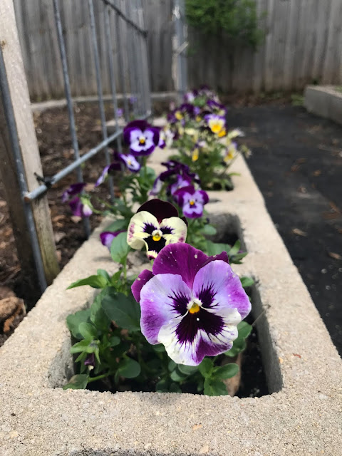 garden, spring, gardening, cinder block raised beds, raised beds, pansies, violas, Anne Butera, My Giant Strawberry
